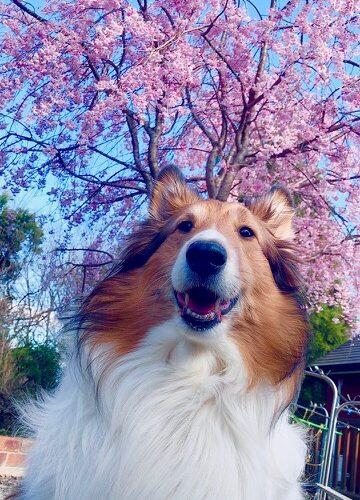 庭の桜と愛犬